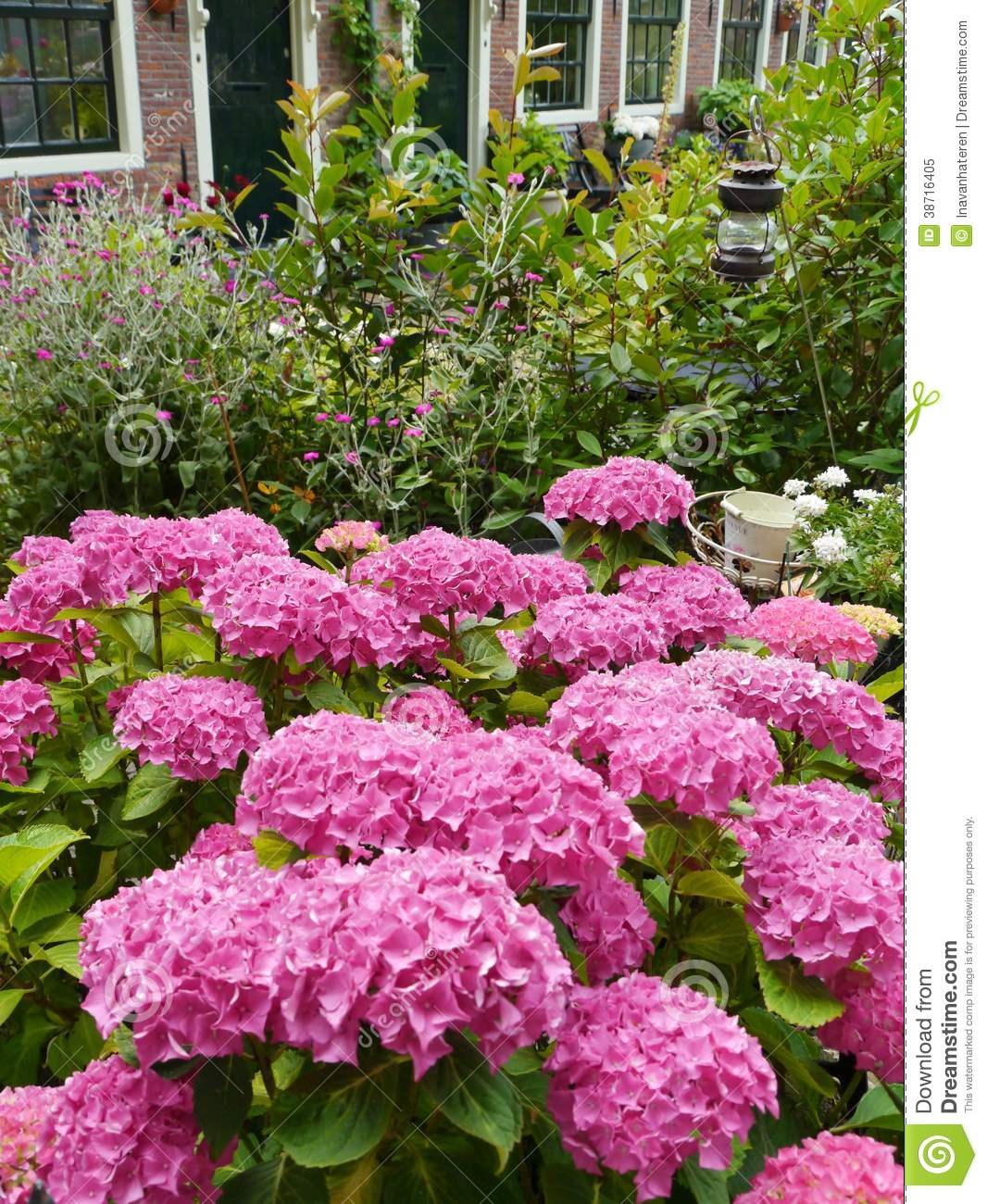 A Garden With Pink Blooming Hortensia Plants Royalty Free