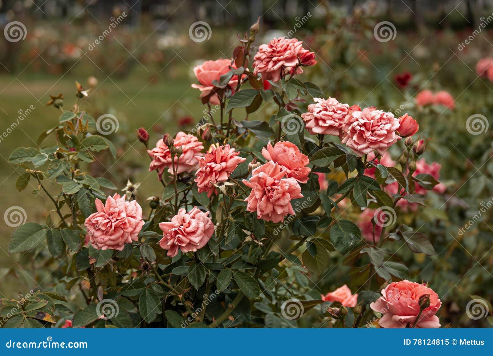 Garden Pink Roses Vintage Color Stock Image - Image of formal, macro ...