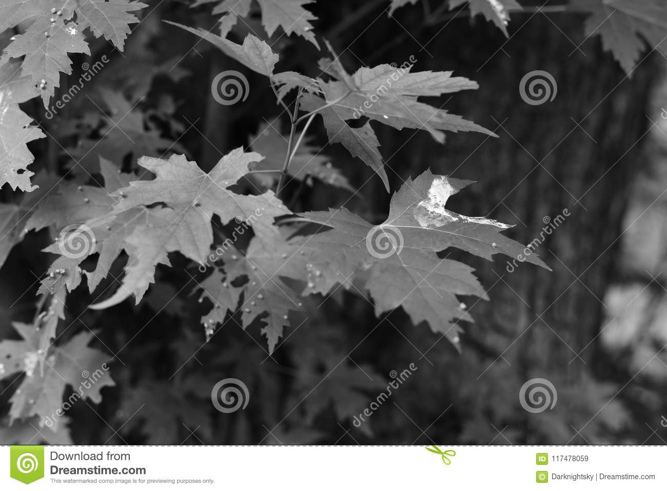 Garden Plant green leafs of a Acer Campestre