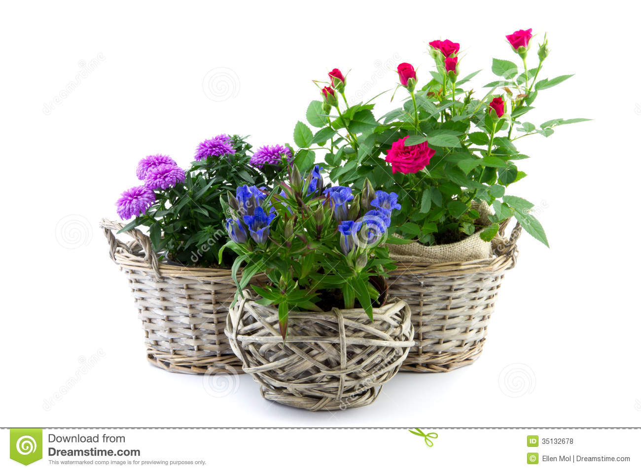 Garden Plant In Reed Basket Stock Photo Image 35132678
