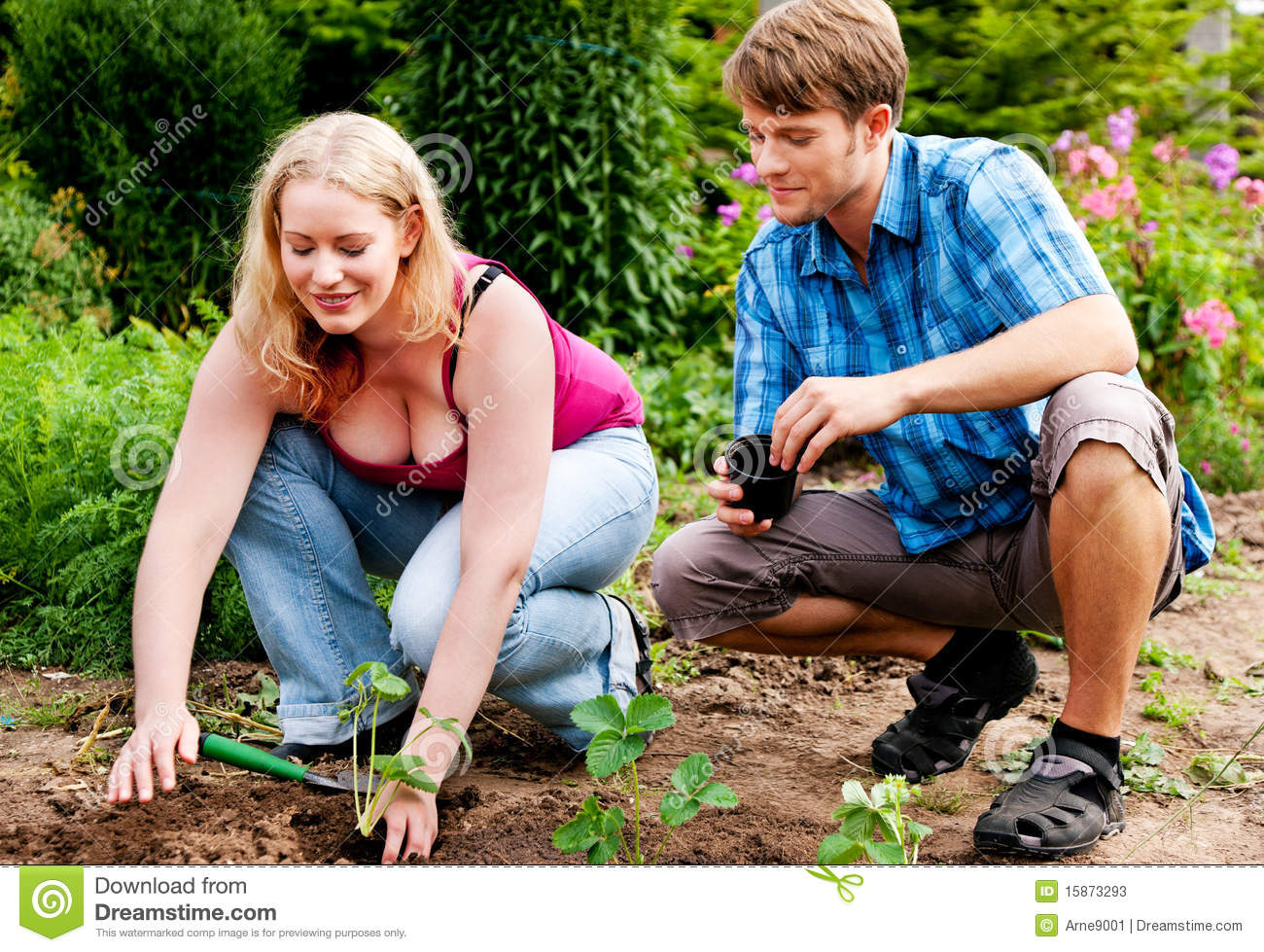Garden Planting Strawberry Seedlings Stock Photos Image 15873293