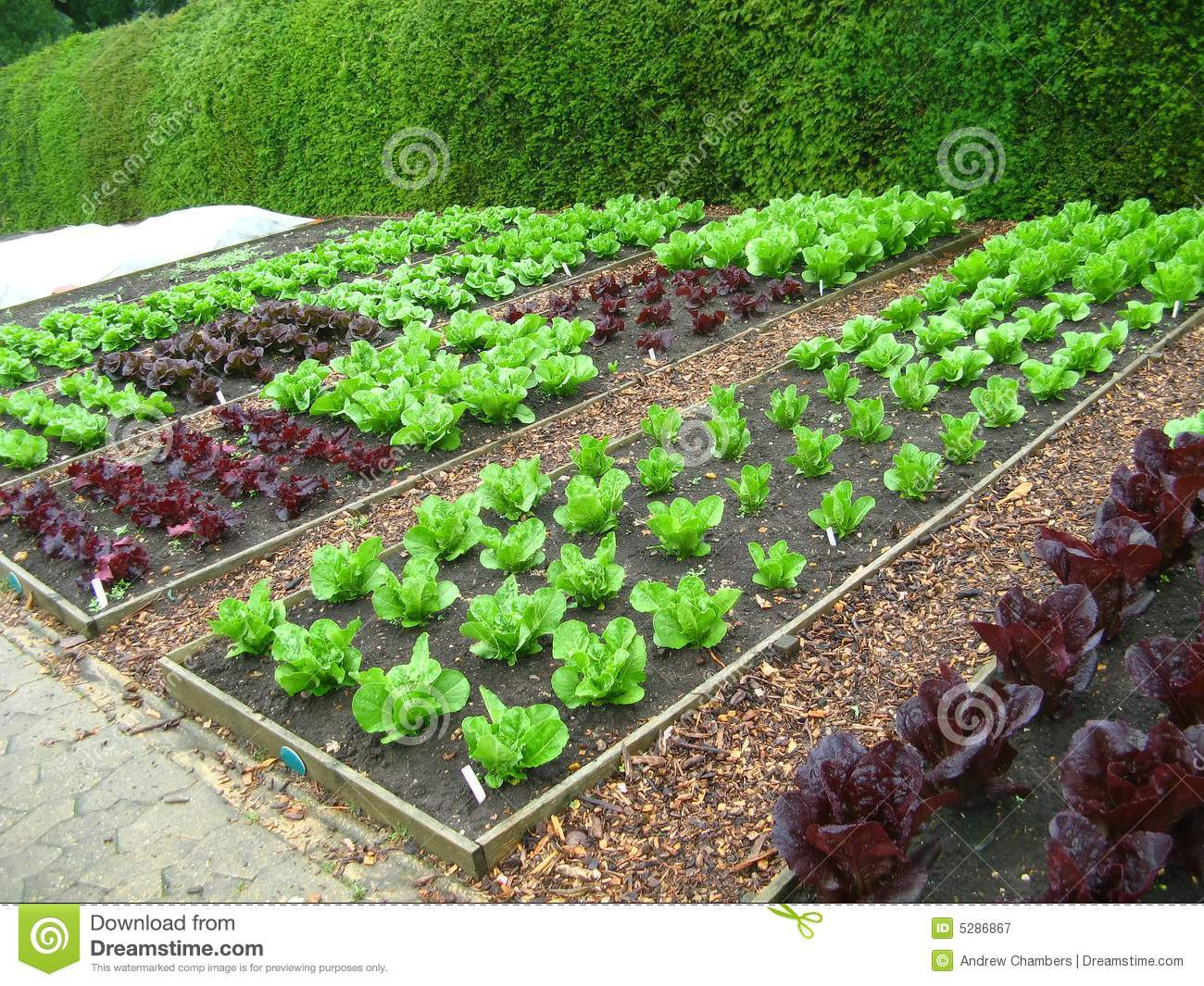 Several areas of gardening plots of different varieties of lettuce.