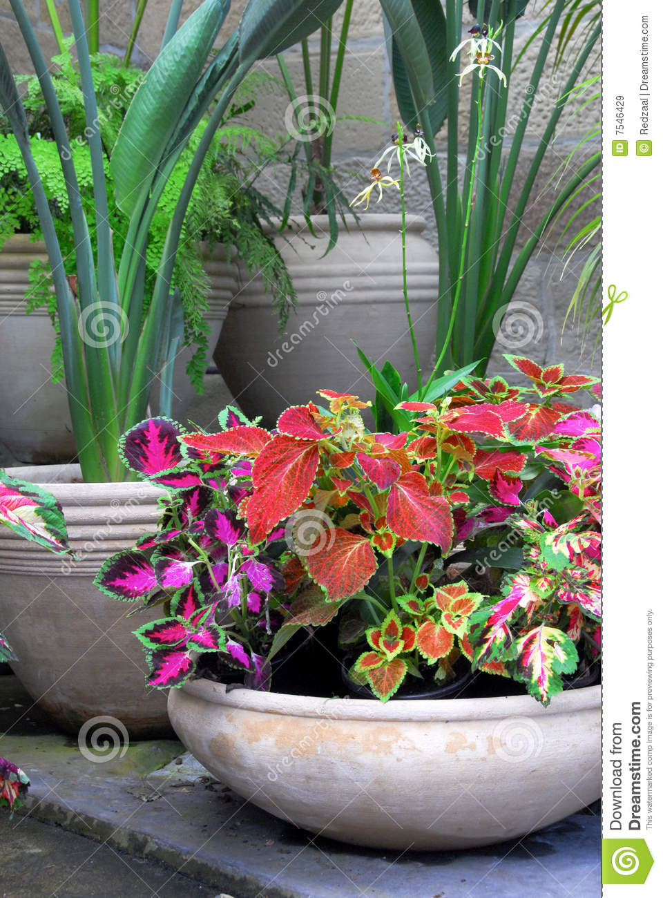 Garden Pots With Coleus Plants Stock Image Image Of Floral Indoor