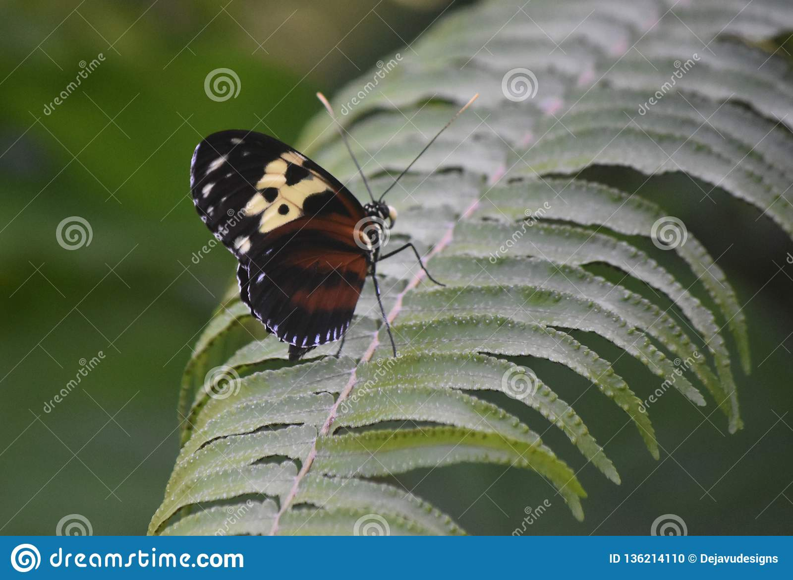 Beautiful Brown and Black Striped Longwing Butterfly in a Garden