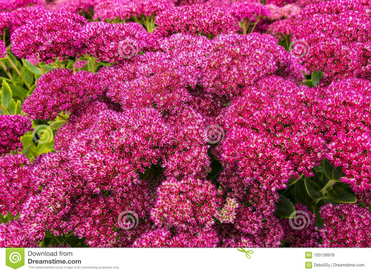 Garden With Purple Sedum Flowers Stock Photo Image Of Frogs