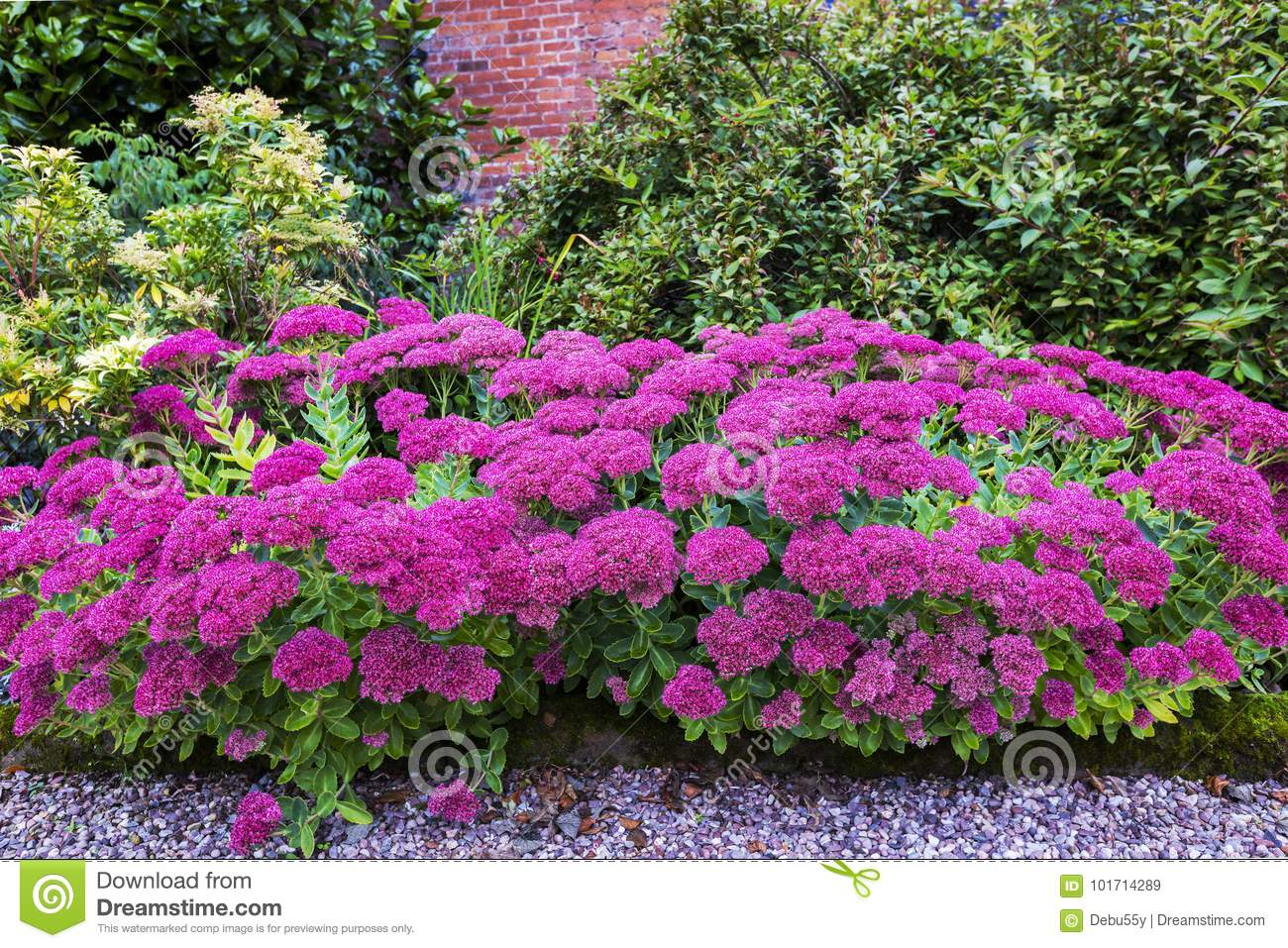 Garden With Purple Sedum Flowers Stock Image Image Of Harping