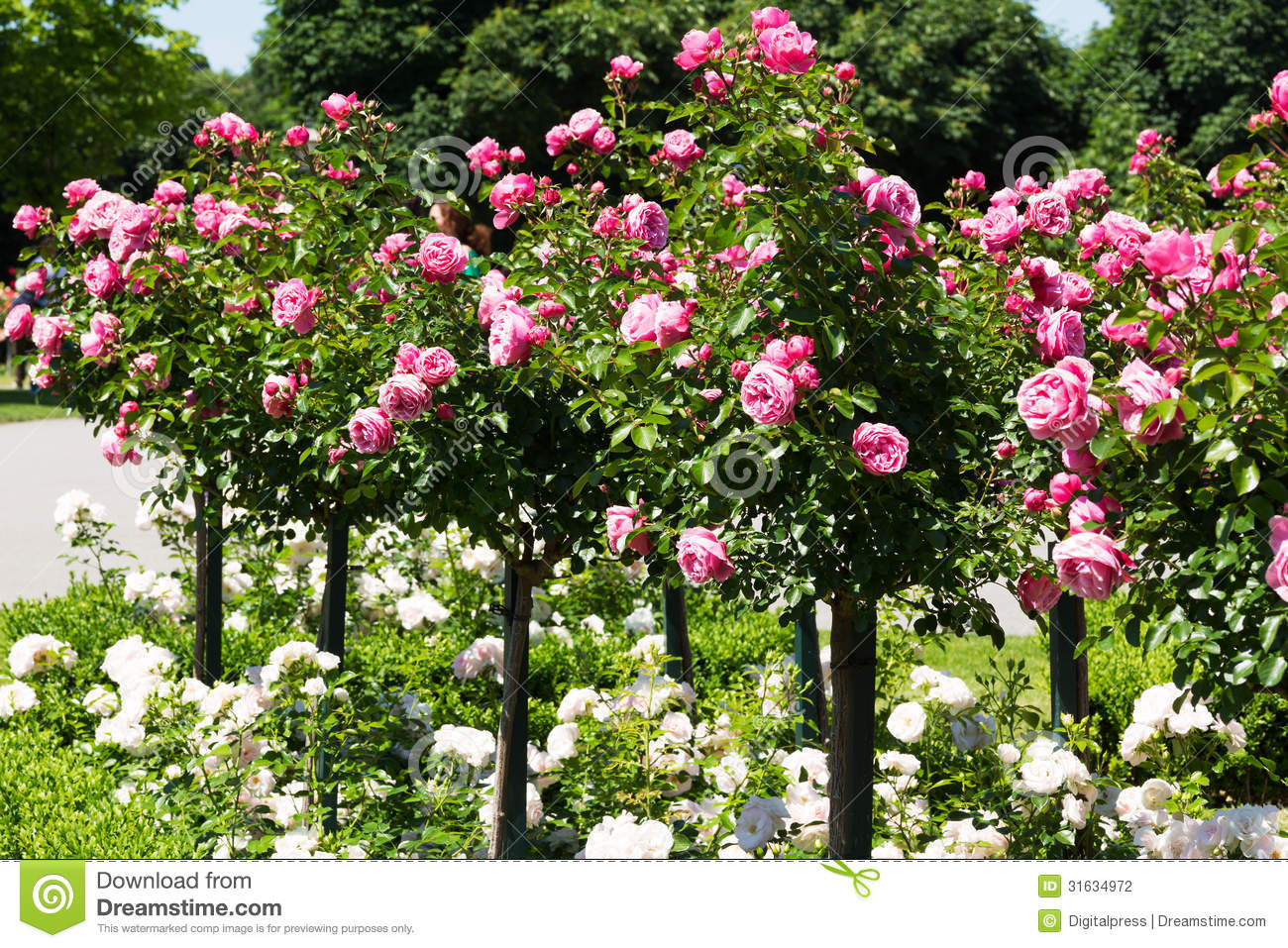 Garden Roses Stock Photography Image 31634972
