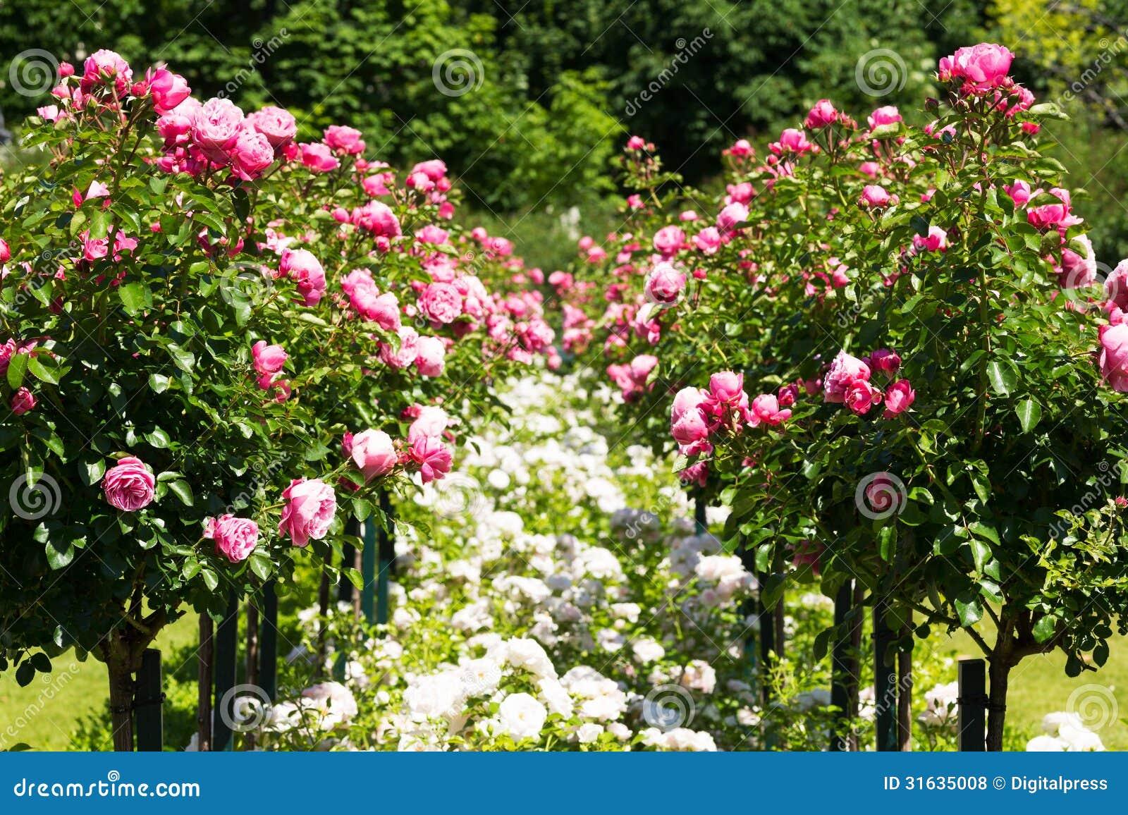 Garden Roses Stock Photo Image Of Horizontal Blossom