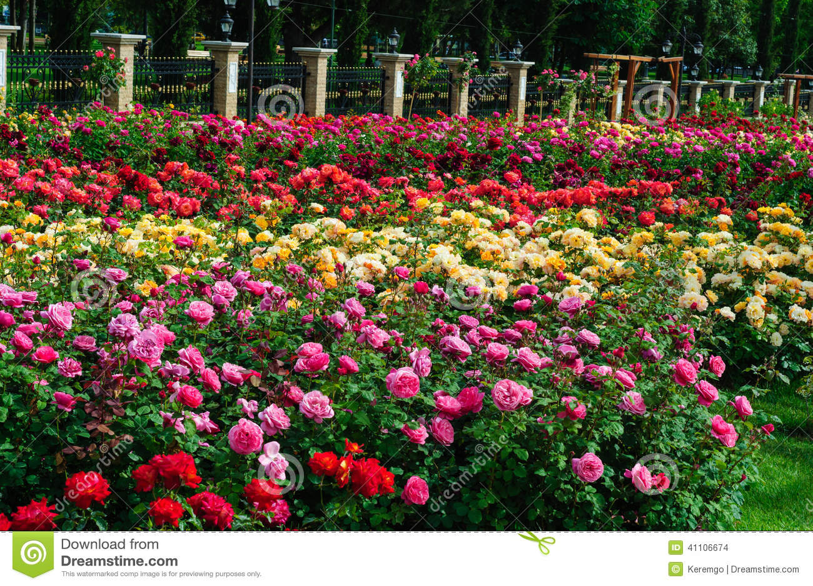 Large Garden Full Of Roses Garden Of Roses Stock Photo Image Of Native Beauty 41106674