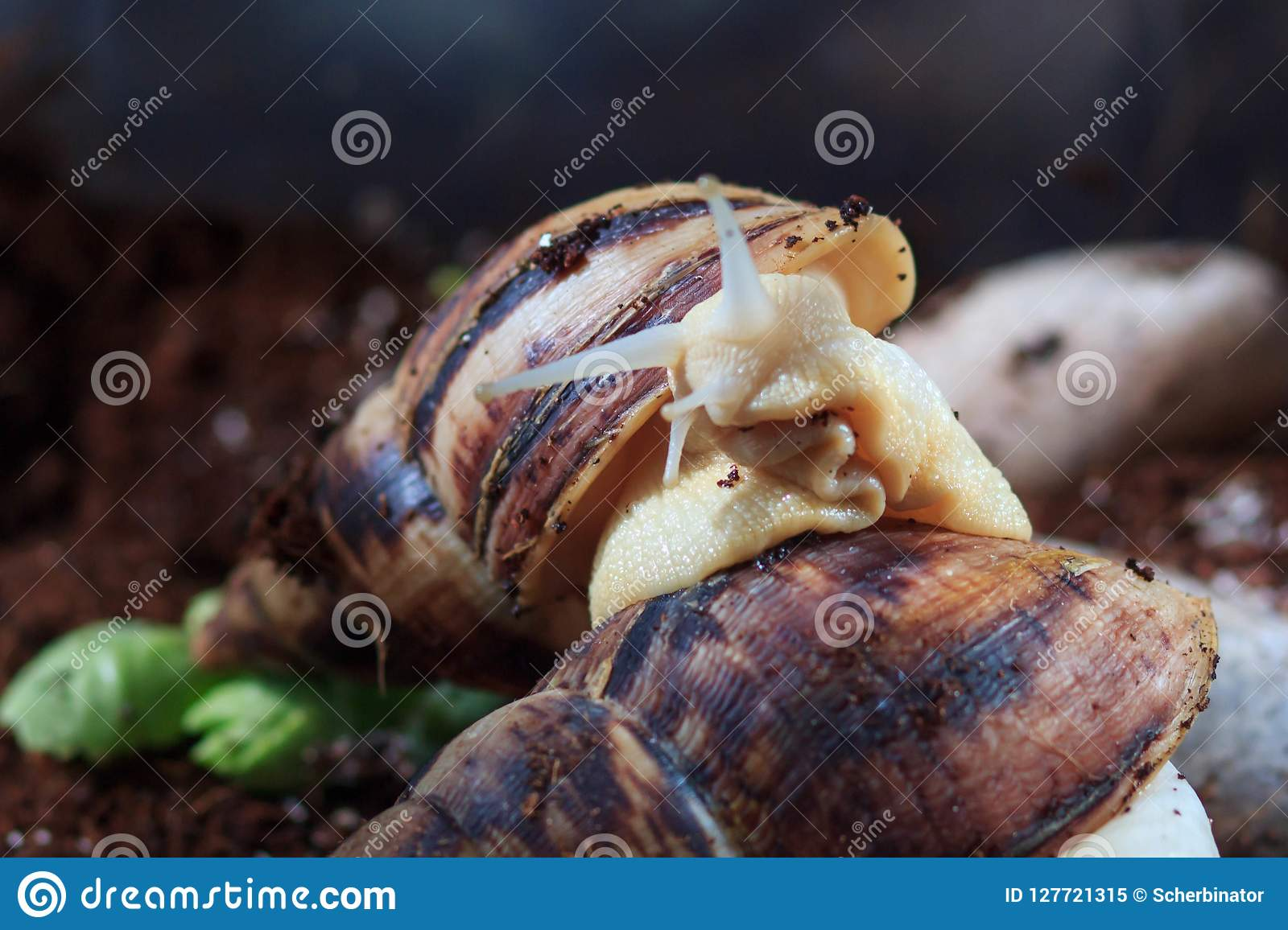 Garden snail Helix aspersa with small snail, the big snail is taking care about the little one