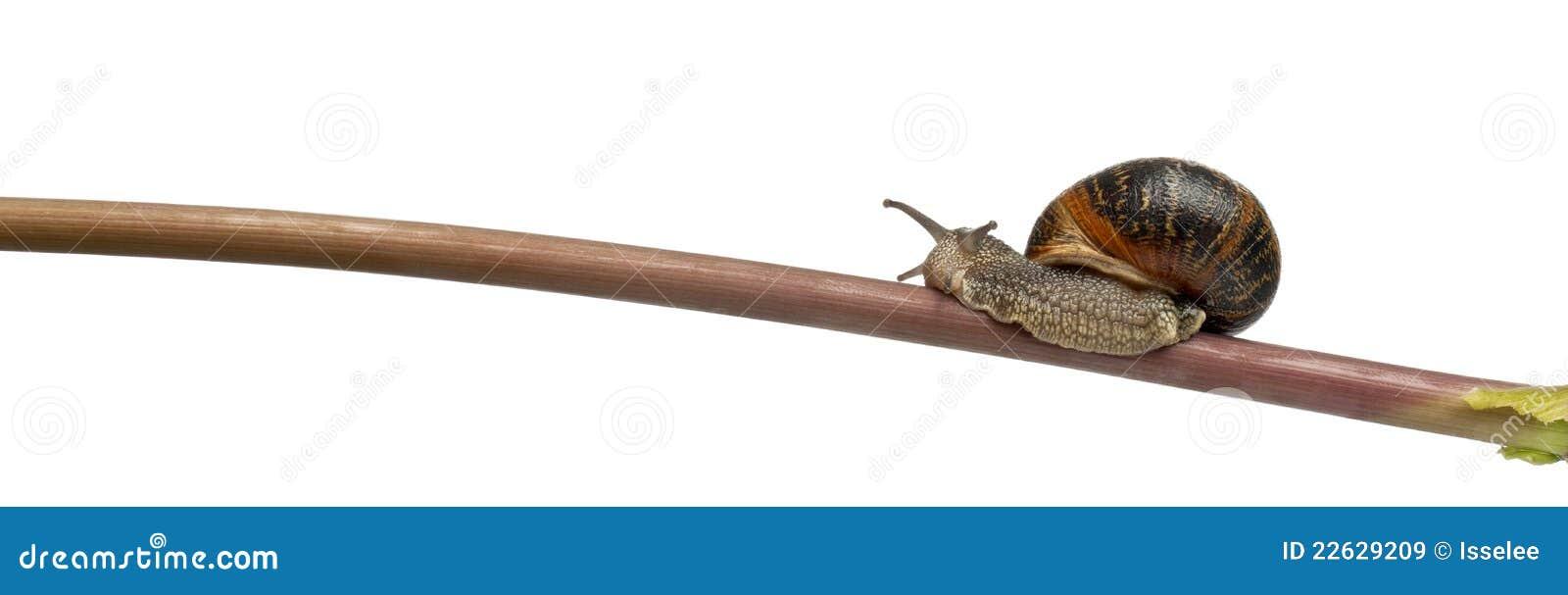 Garden Snail On Stick Helix Aspersa Royalty Free Stock