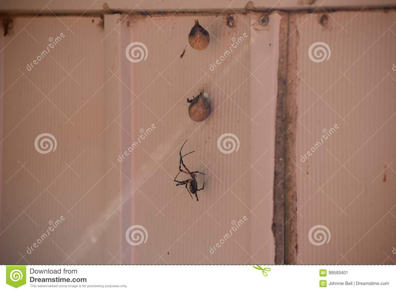 Garden Spider and Eggs stock image. Image of building - 99593401