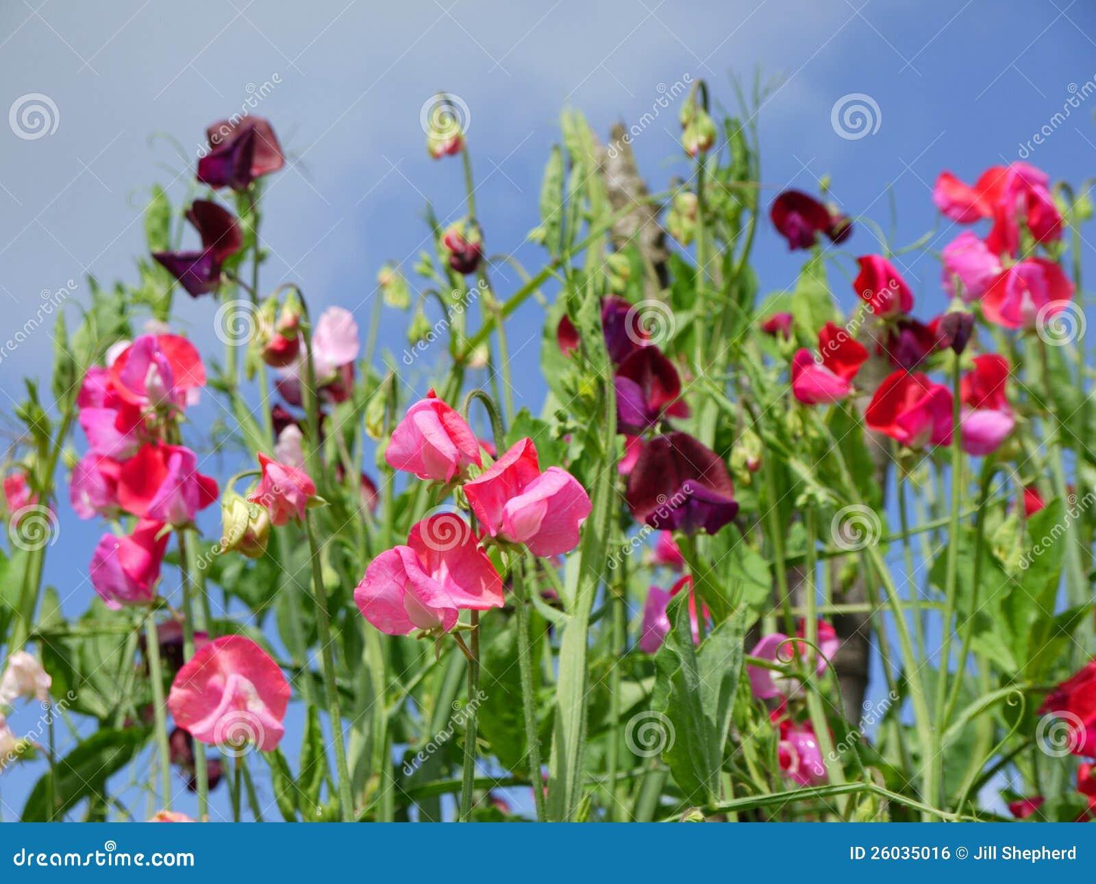 Garden Sweet Pea Flowers H Royalty Free Stock Image Image