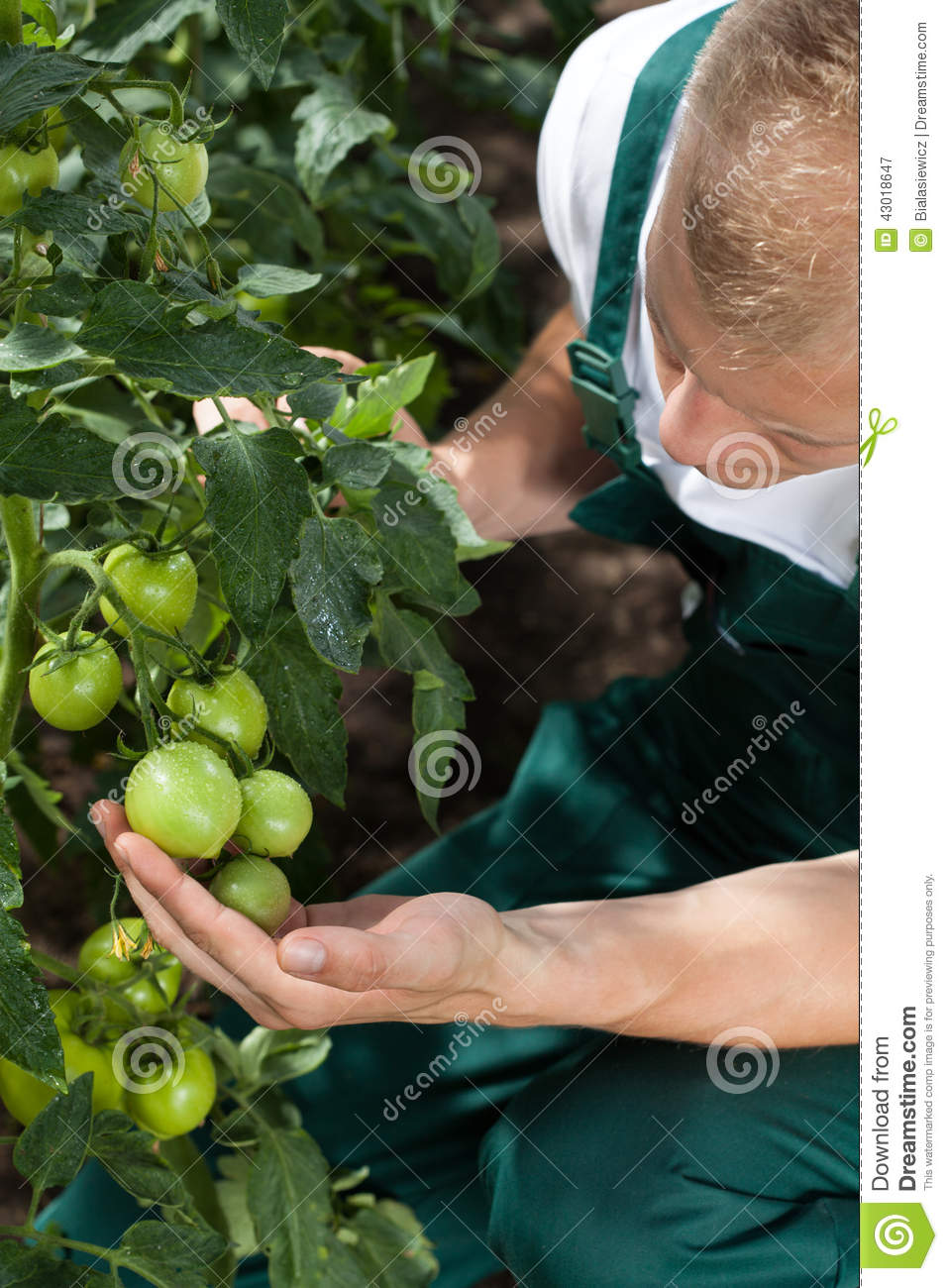 Gardener caring about tomatoes