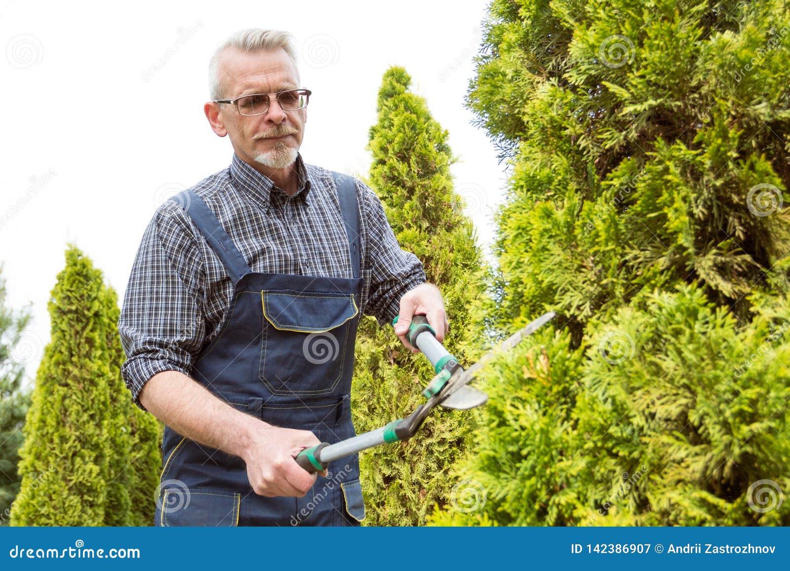 The gardener cuts the trees shears