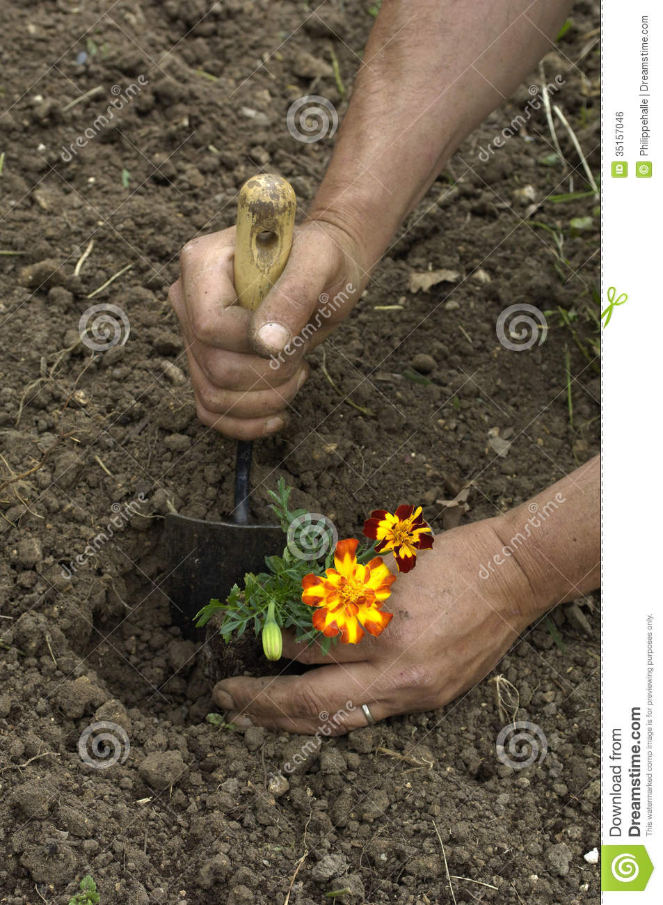 Royalty Free Stock Photo. Download Gardener Is Planting A Flower In A Garden  ...