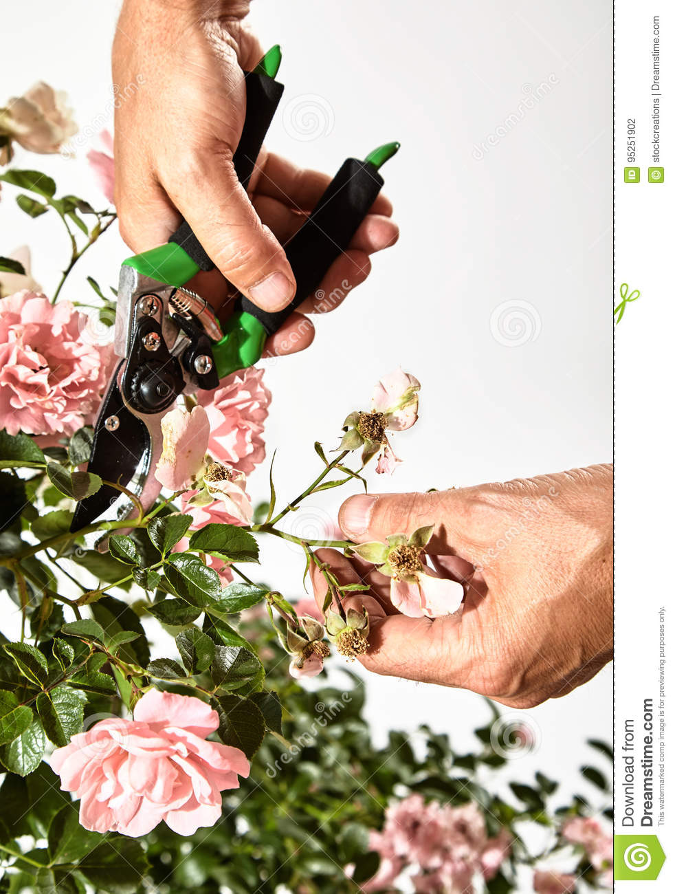 Gardener Pruning A Rose Bush With Secateurs Stock Photo Image Of