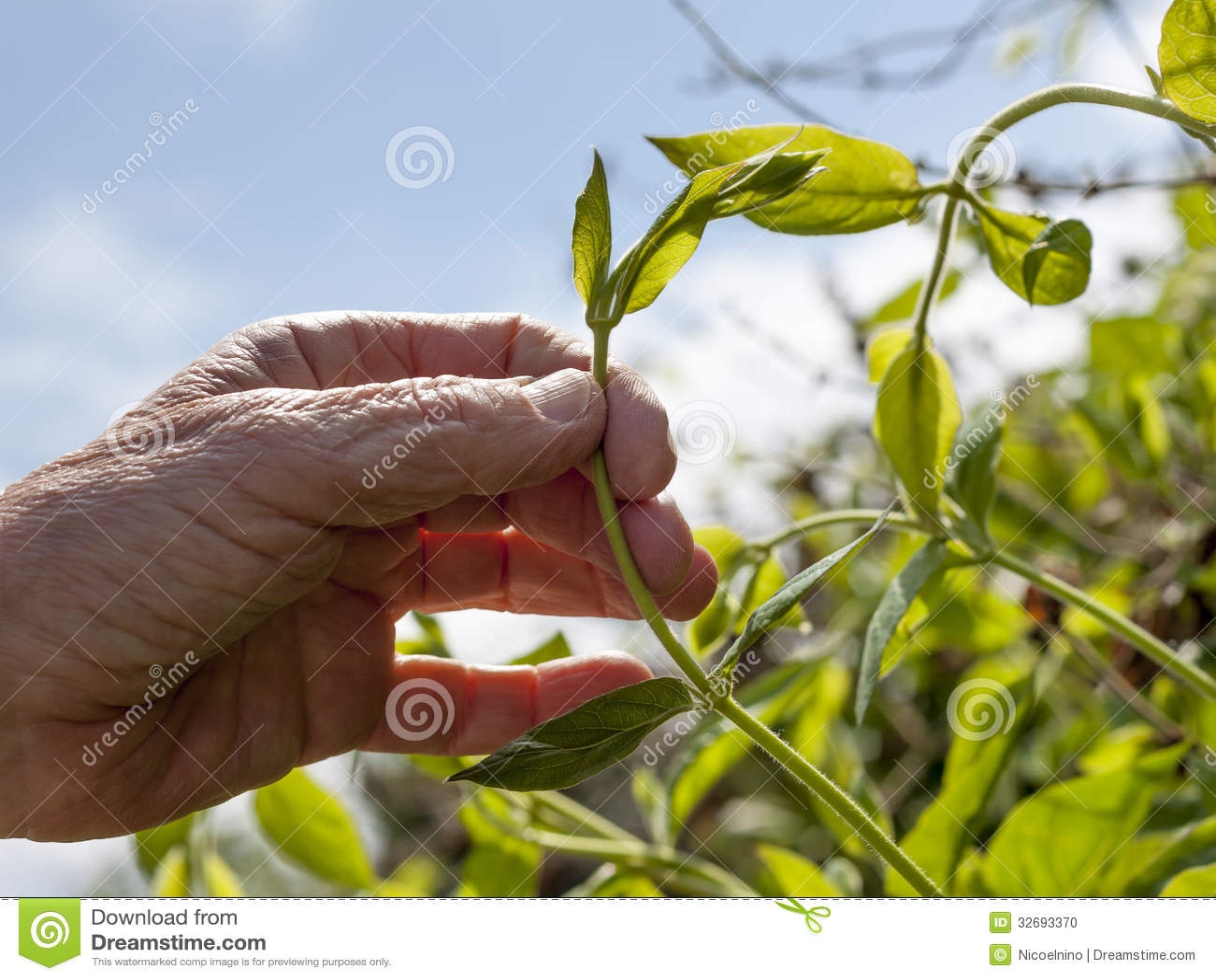 Gardeners hand holding a creeping plant stock photo image of gardener s hand holding a creeping plant izmirmasajfo