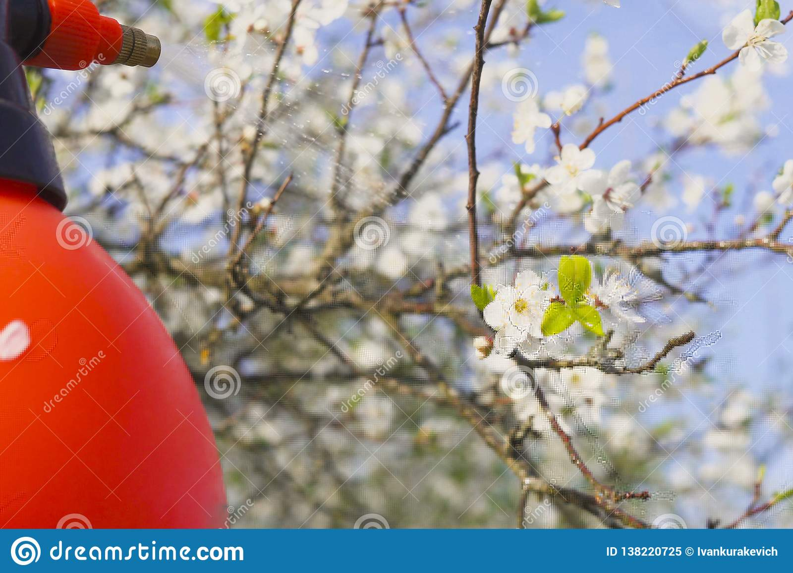 Gardener with spraying a blooming fruit tree against plant diseases and pests. Use hand sprayer with pesticides in the