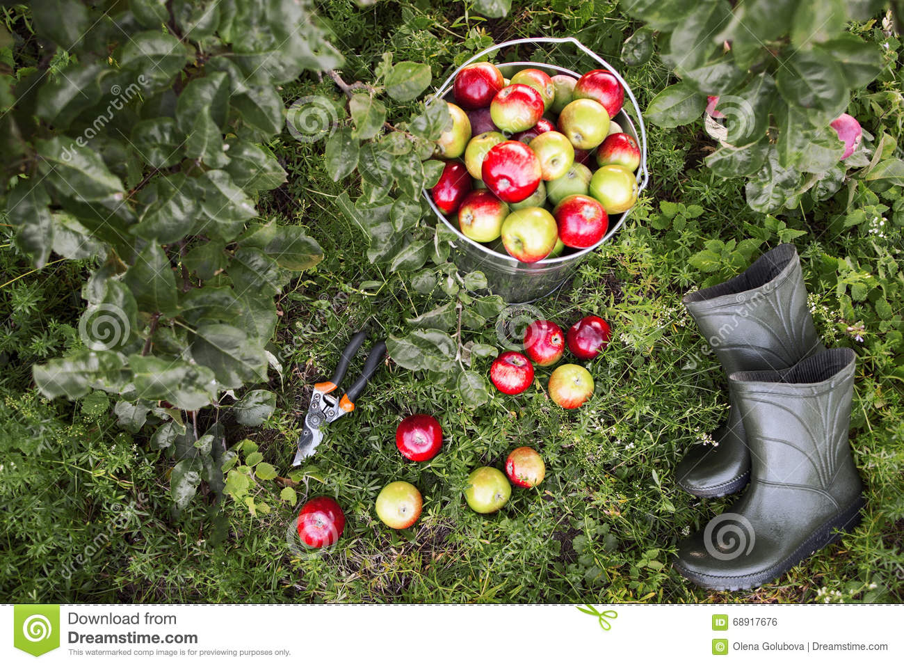 Gardener tools and apple harvest stock photo image 68917676 - Must tools small garden orchard ...