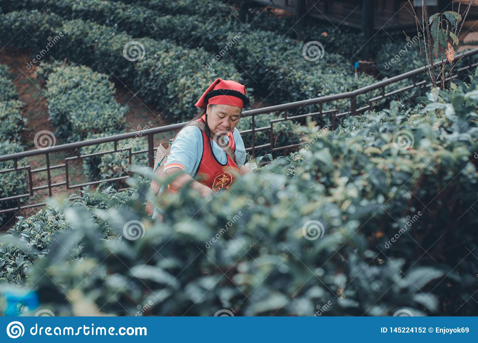 Gardeners collect tea leaves