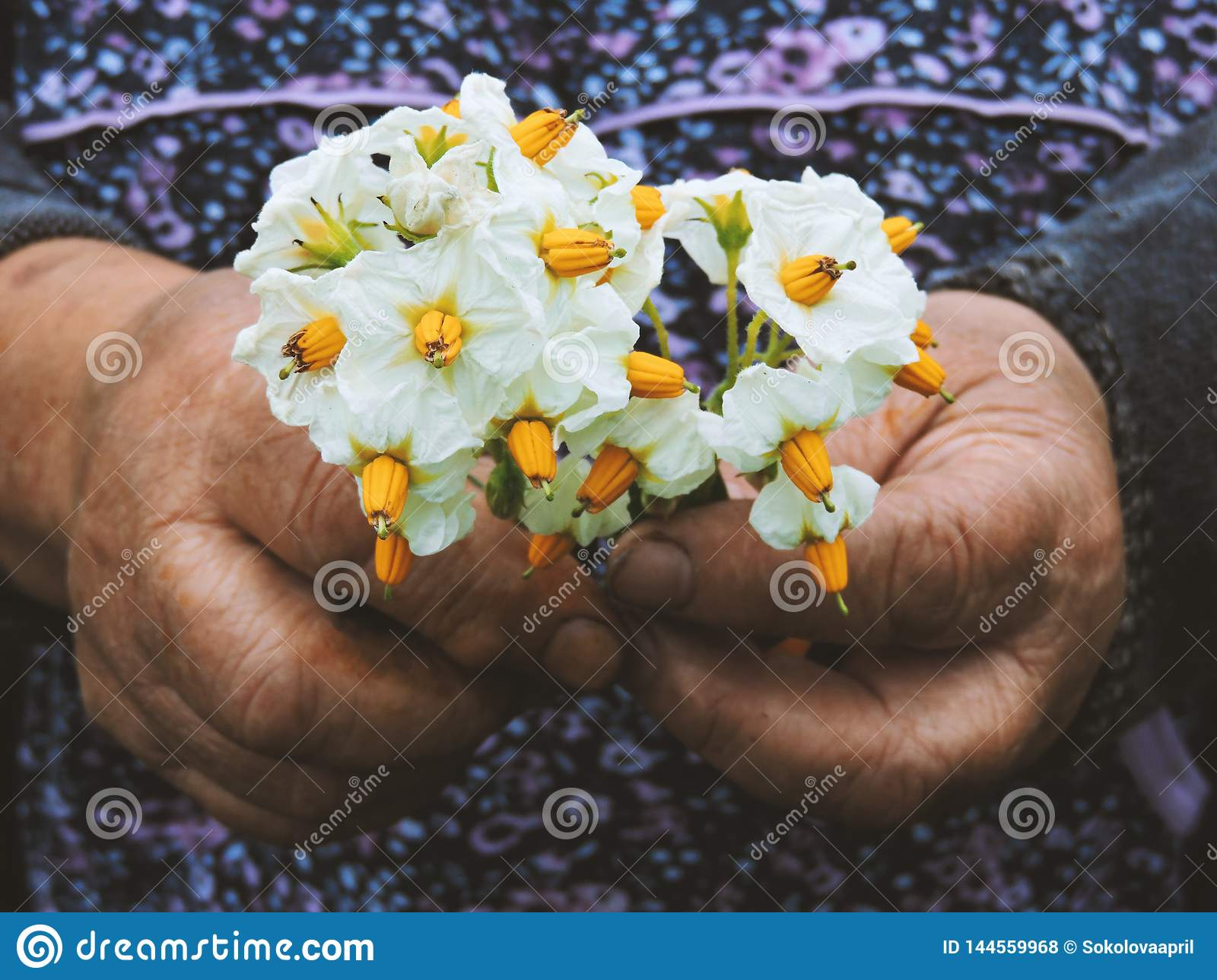Gardeners hands planting flowers. Hand holding small flower in the garden. Hand holding  potato flowers.