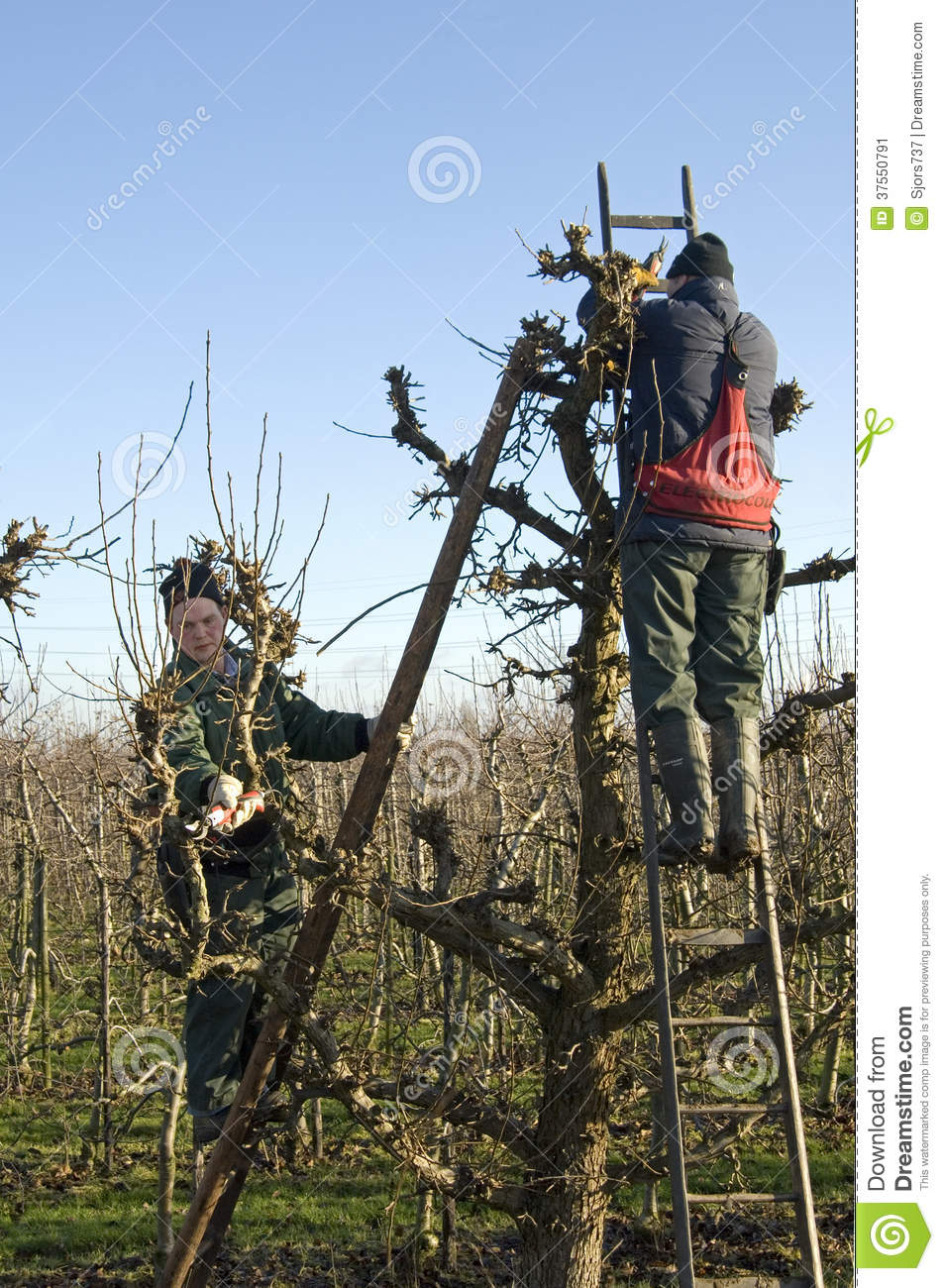 Gardeners Prune Willow Trees Netherlands Editorial Photo