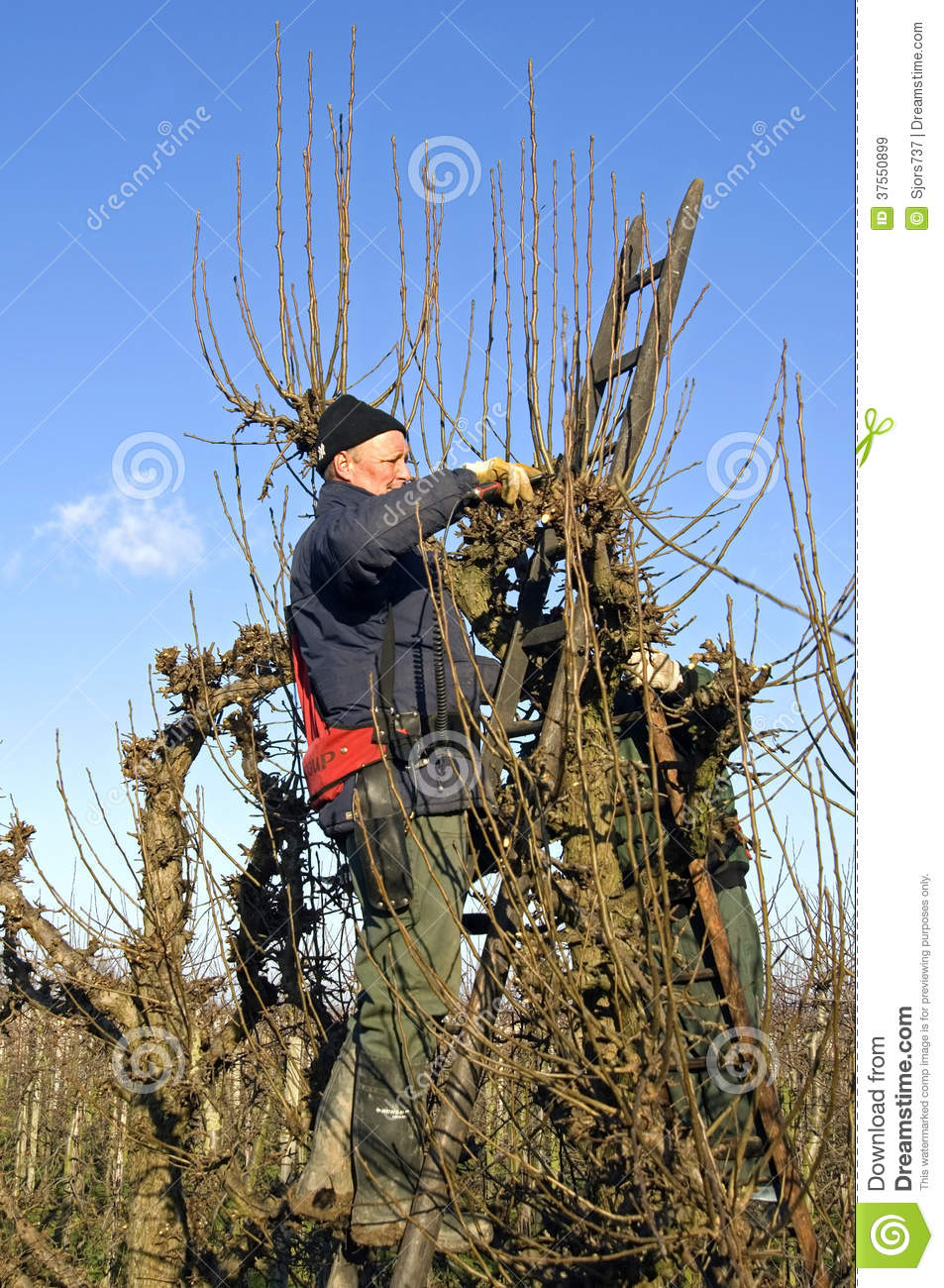 Gardeners Prune Willow Trees Netherlands Editorial Stock