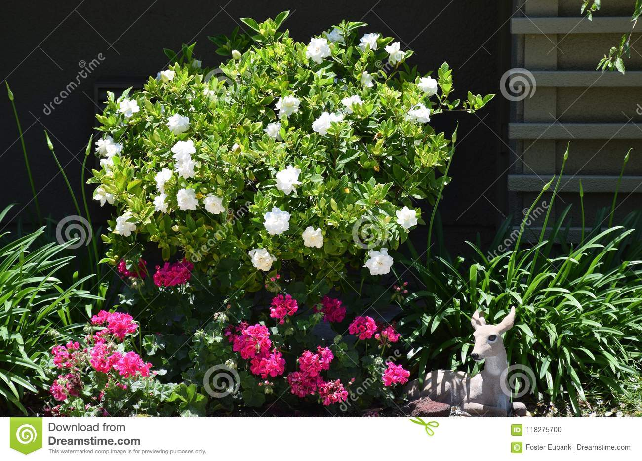 Gardenia bush in full bloom.