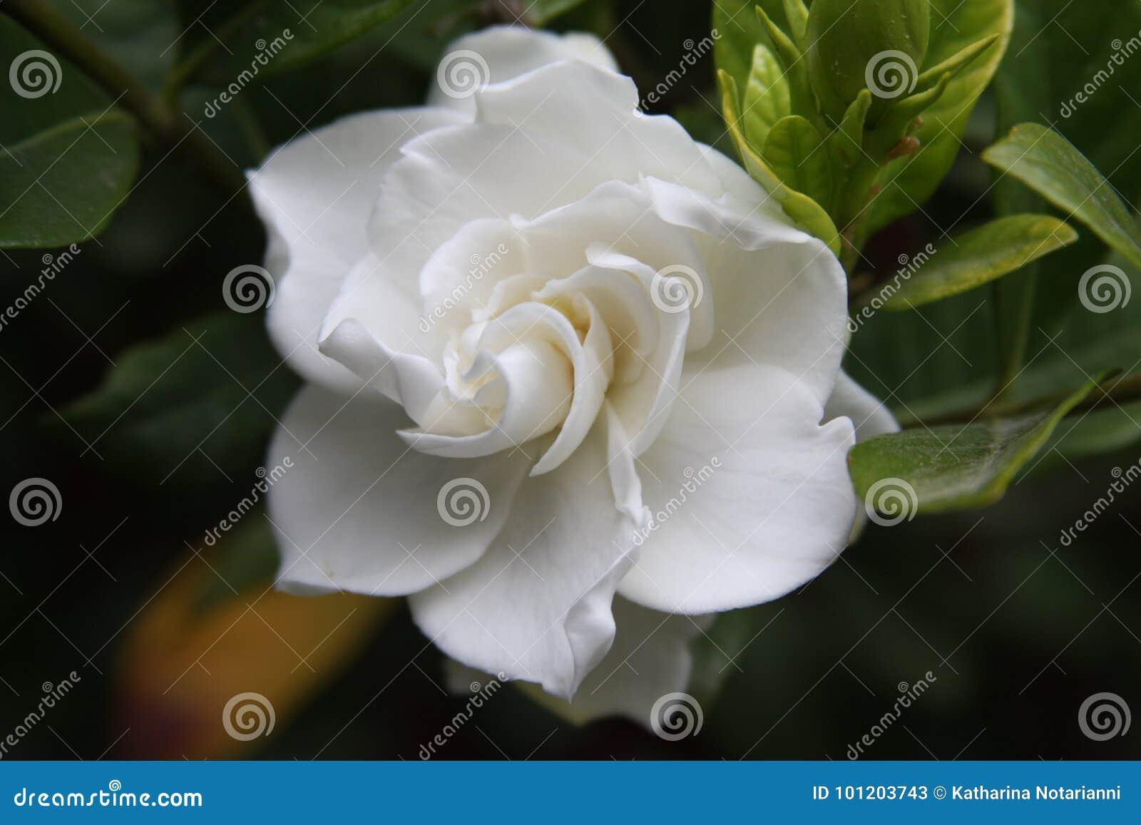 Gardenia Flower Close Up