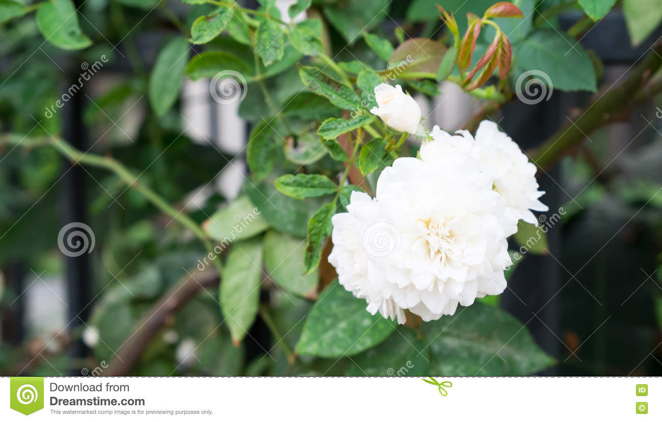 Gardenia Flower Stock Image Image Of Leaf Bloom Branch 71176819