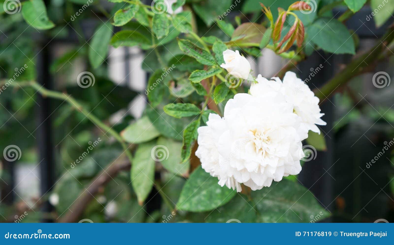 Gardenia flower stock image image of leaf bloom branch 71176819 gardenia flower mightylinksfo