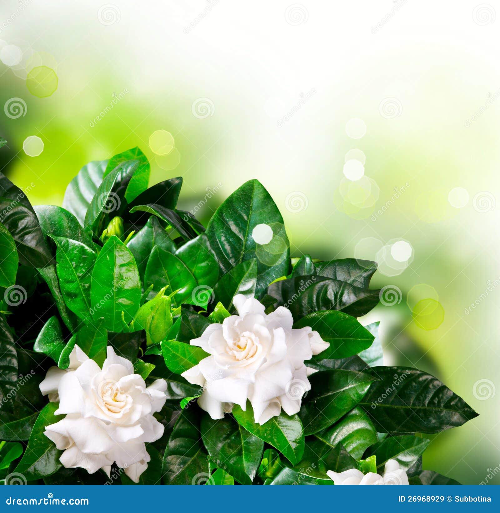 Royalty Free Stock Photo. Download Gardenia Flowers.