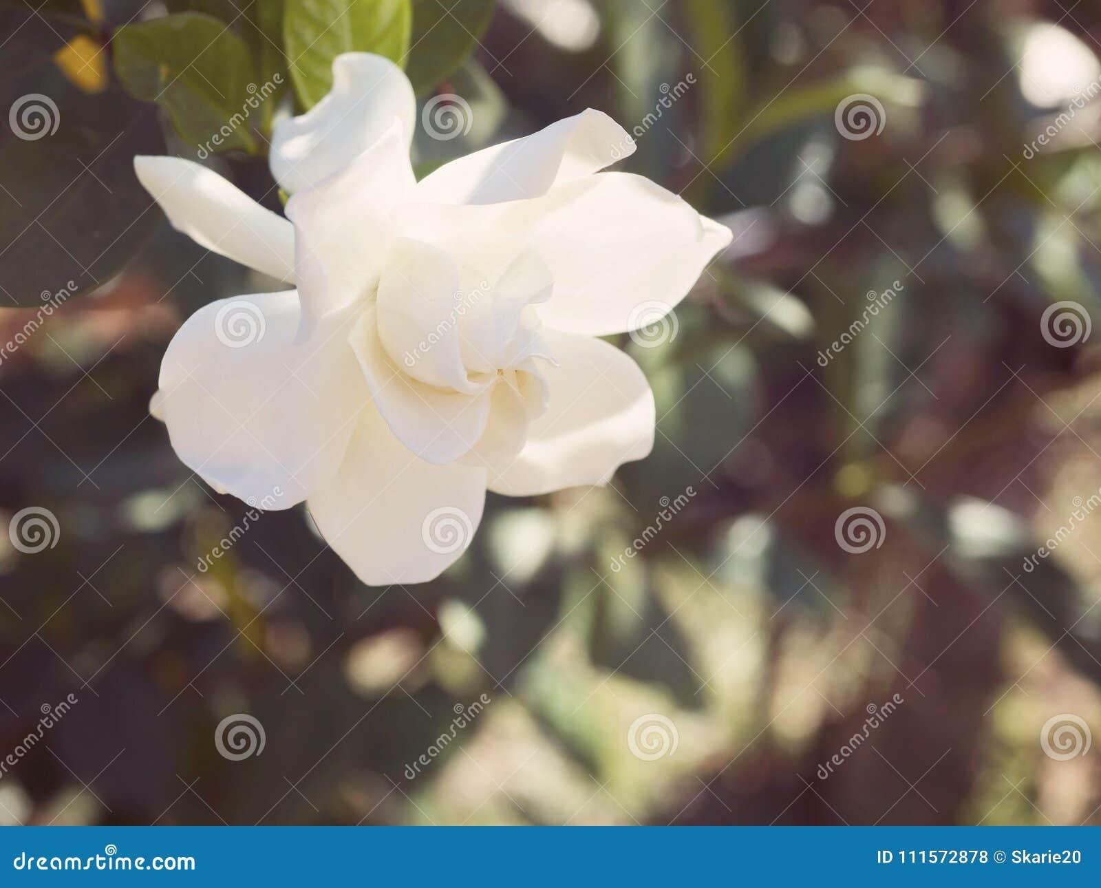 Gardenia jasminoides flower as known as cape jasmine flower stock download gardenia jasminoides flower as known as cape jasmine flower stock photo image of good izmirmasajfo