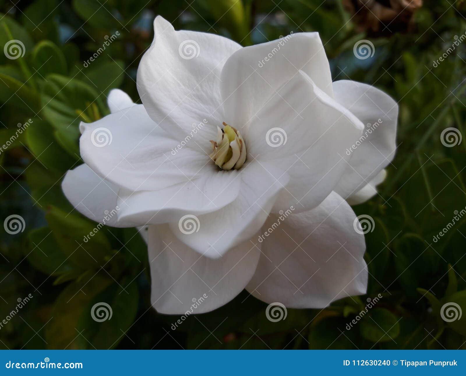 Gardenia Jasminoides Stock Photo Image Of White Sweet 112630240
