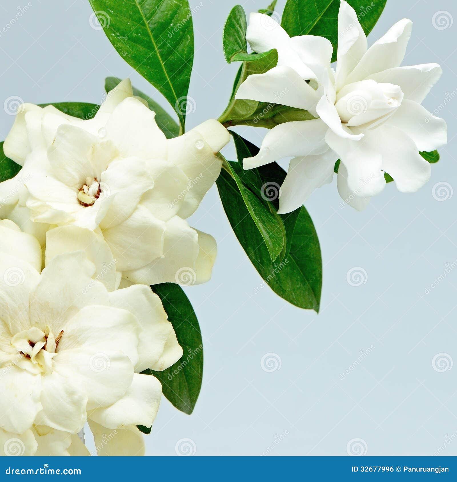 Cannonball tree flower stock photo image of bright bangkok 34410468 gardenia royalty free stock image izmirmasajfo