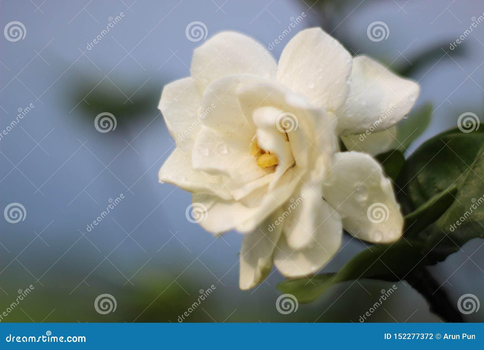 Gardeniabloem