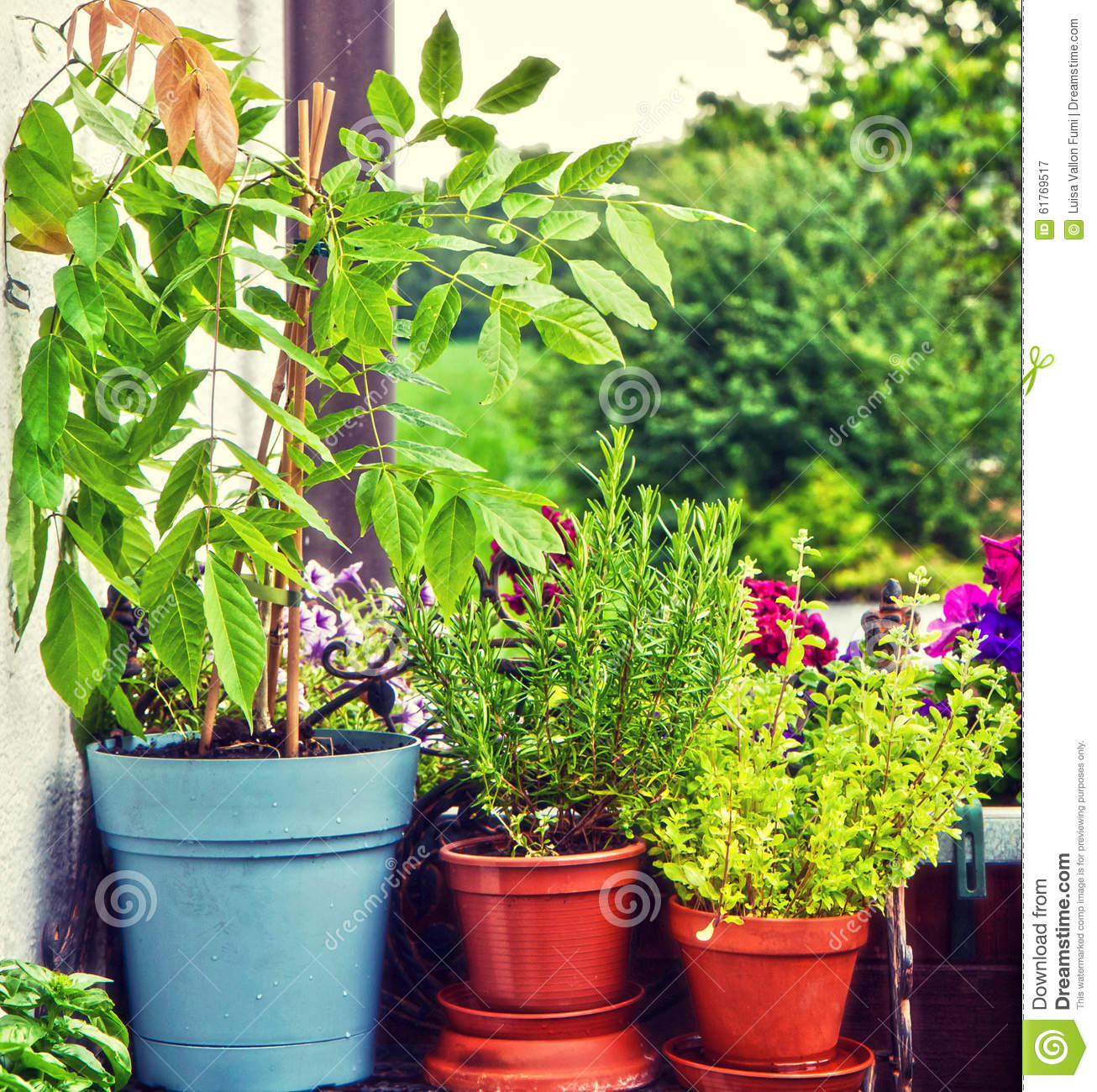 Gardening at home on the balcony pots with herbs and wisteria  Gardening At  Home On. Gardening At Home In Pots  universalcouncil info