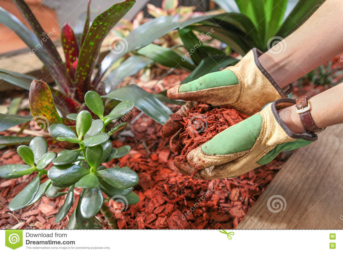 Gardening And Preparing The Garden Beds With A Red Cedar Wood Chip