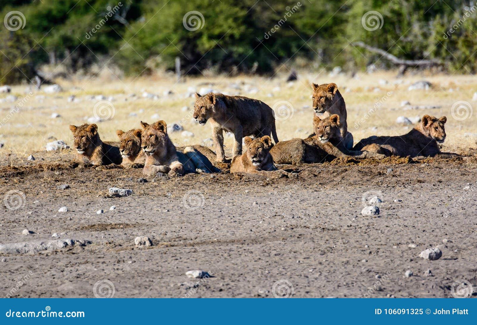 Garderie de jeunes lions dans un groupe