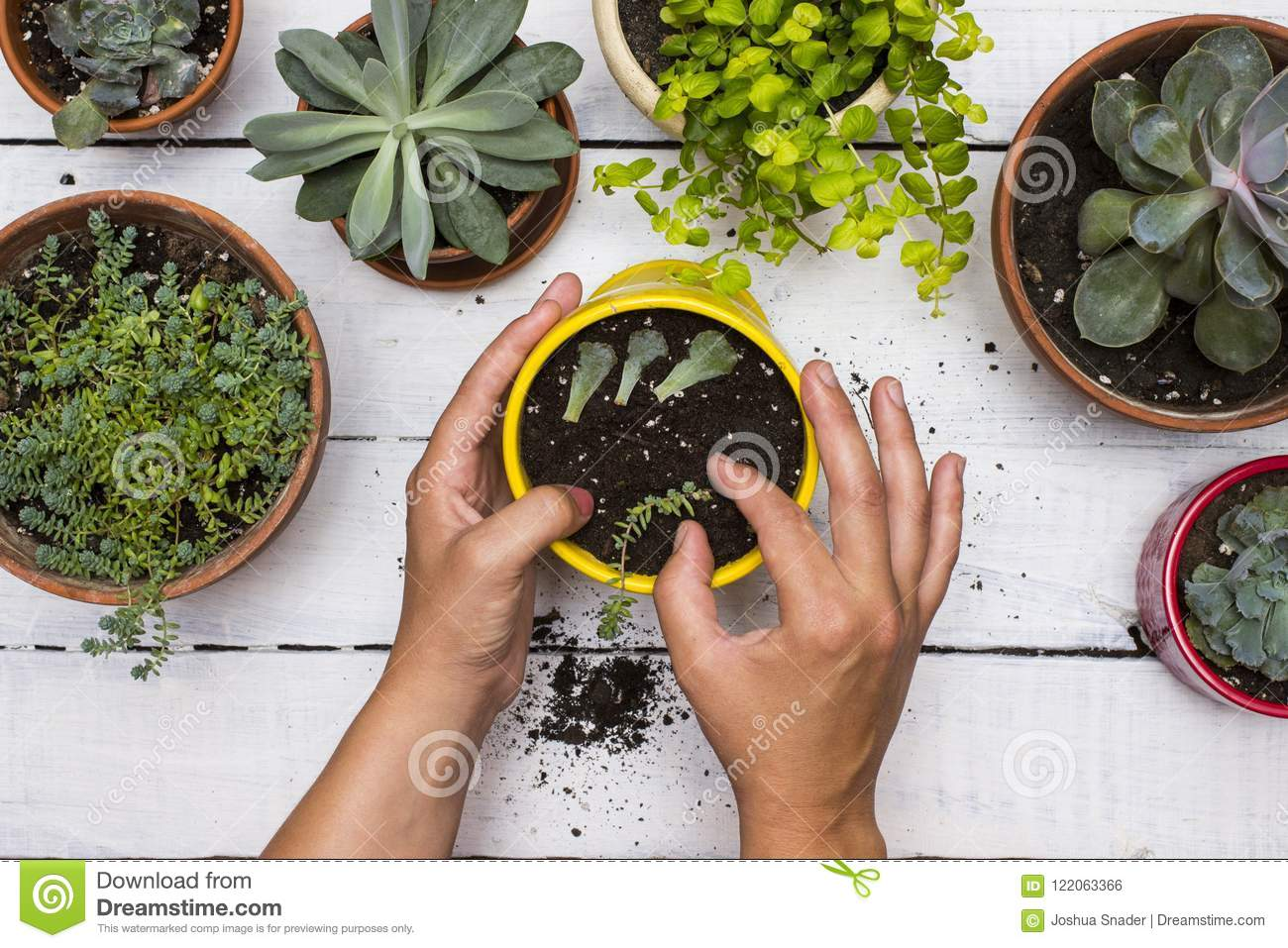 Gardner S Hands Planting Succulents In Pot Surround By Other Succulent Plants With Vintage White Board Background Stock Photo Image Of Starting Succulent 122063366