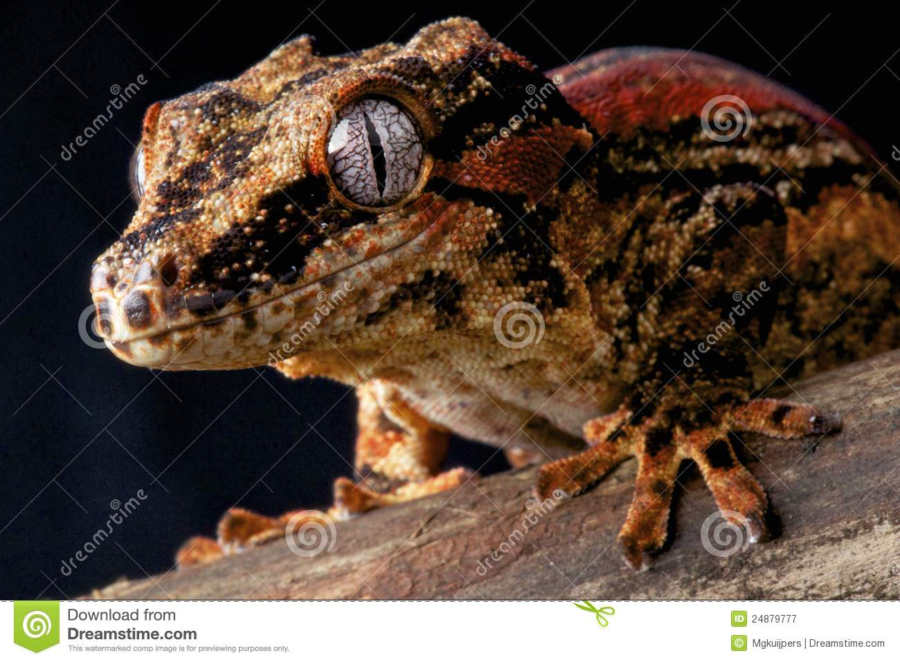 The Gargoyle Gecko / Rhacodactylus auriculatus is a medium sized gecko ...