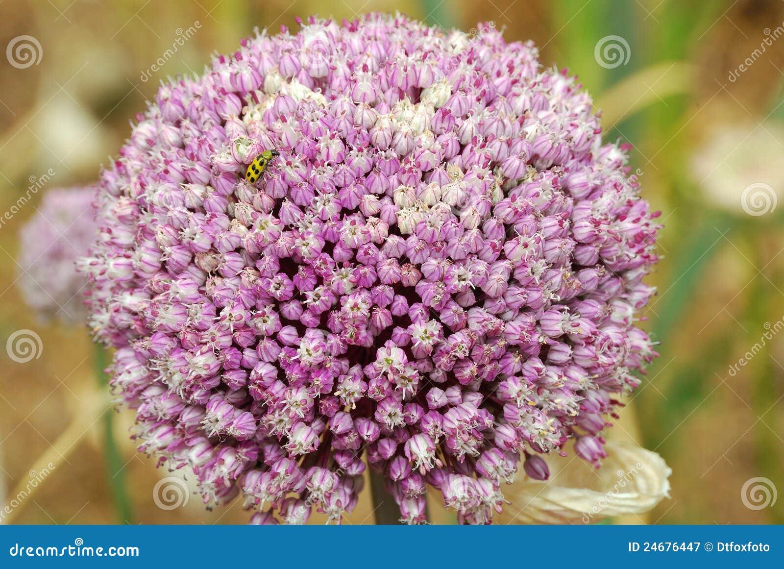 Garlic Flower Royalty Free Stock graphy Image