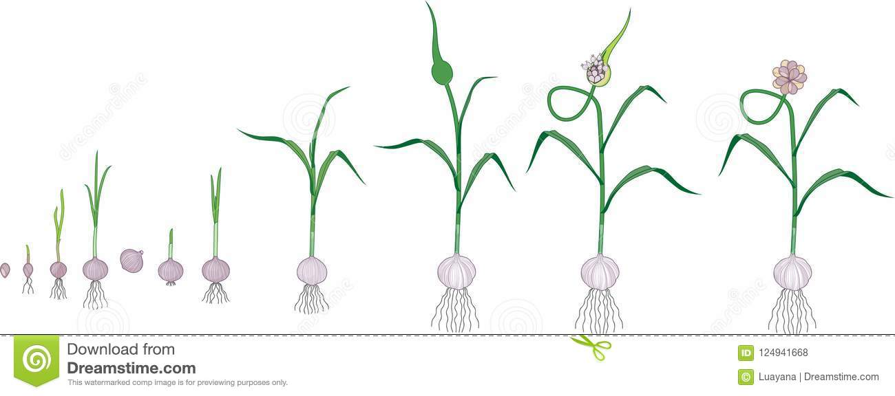Garlic Life Cycle  Consecutive Stages Of Growth From