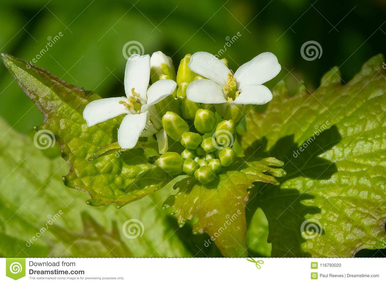 Download Garlic Mustard - Vlliaria Petiolata Stock Photo - Image of outside, petiolata: 116793020