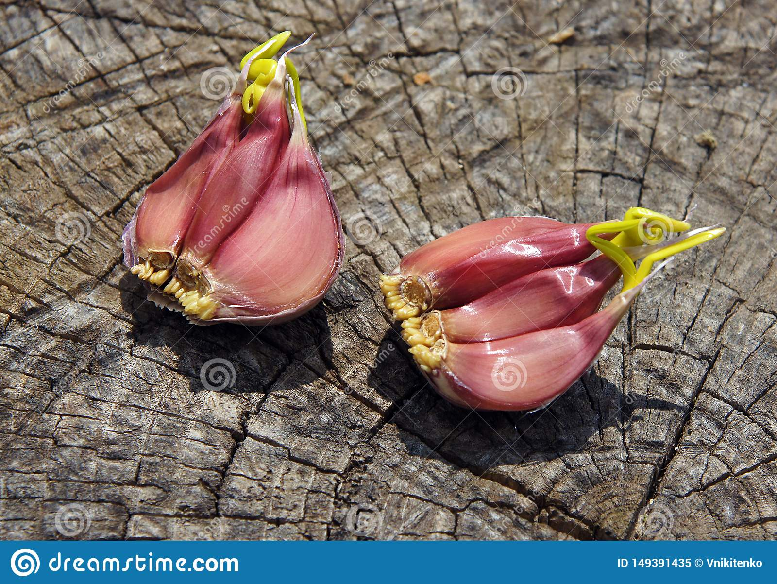 Garlic starts to sprout