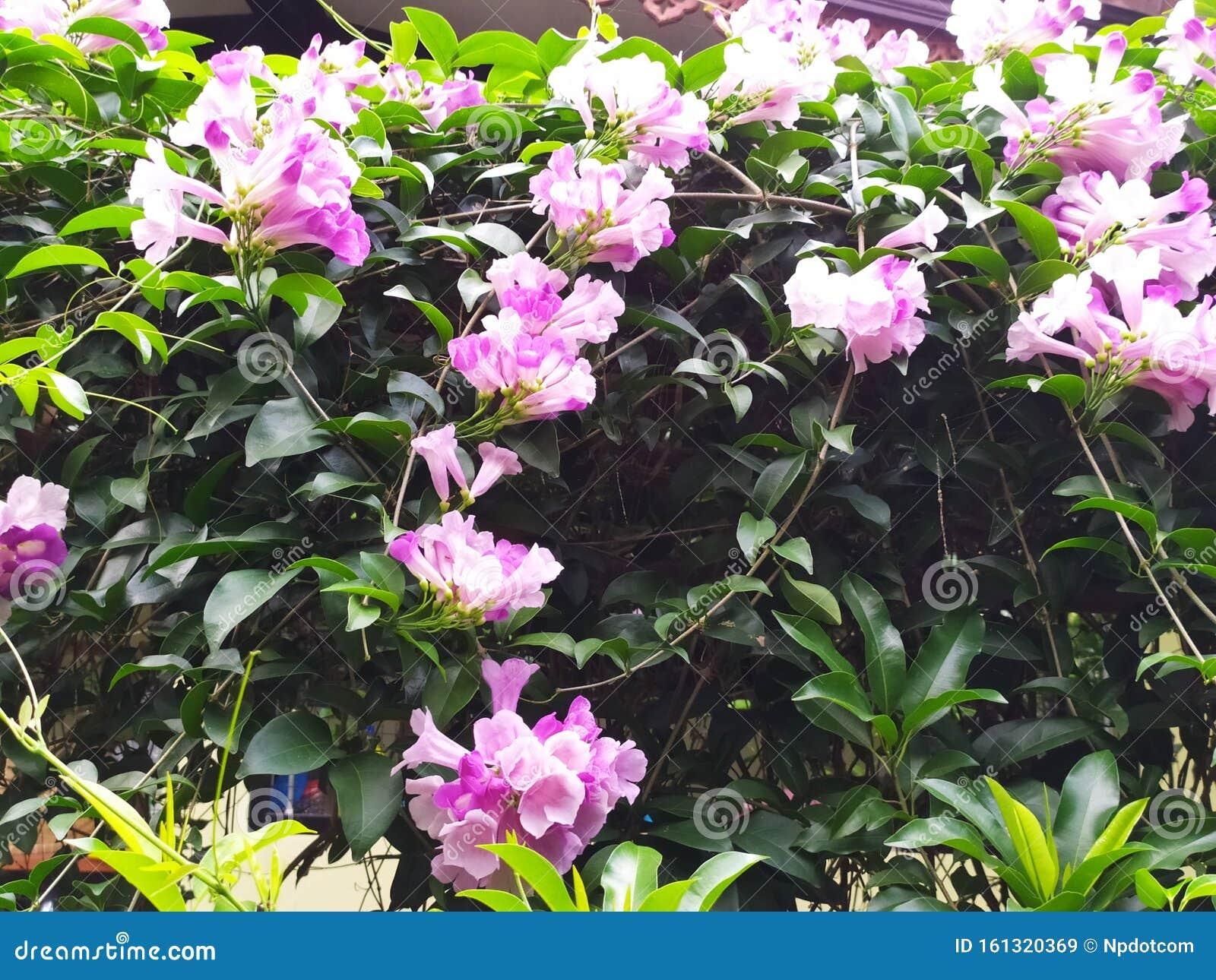 Image result for BEAUTIFUL FRAGRANT FLOWER GARDEN THAILAND
