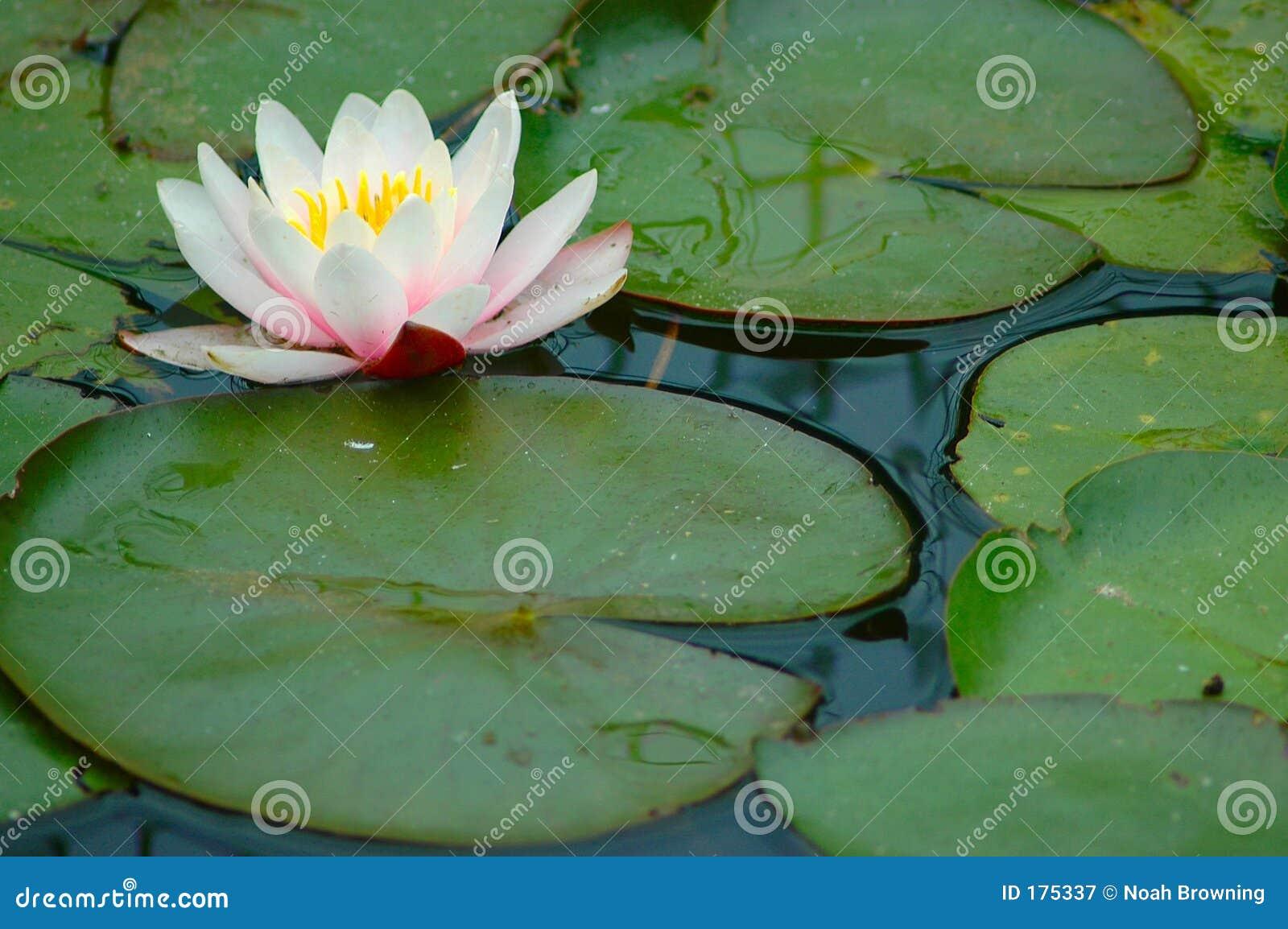 Garnitures de Lilly avec la fleur.