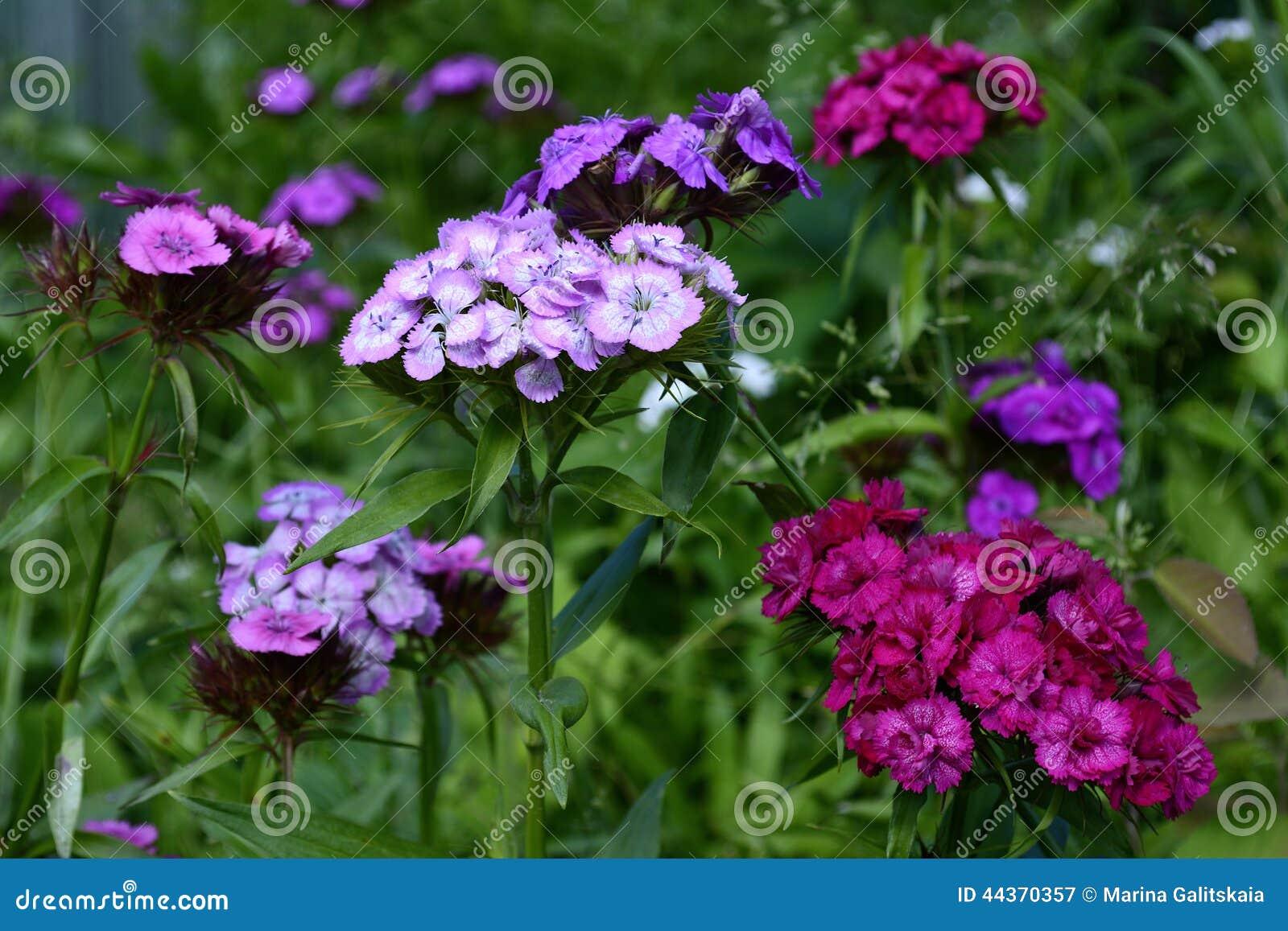 Garofani turchi di fioritura