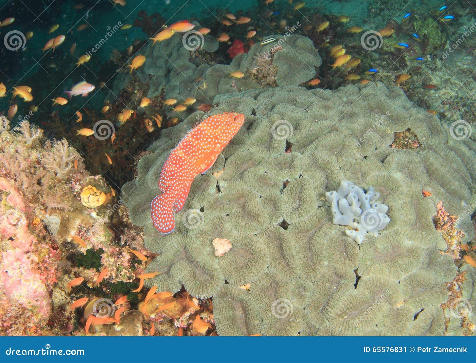 Garoupa coral